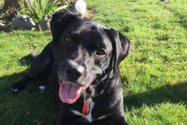 Bo the Staffy x Labrador Retriever